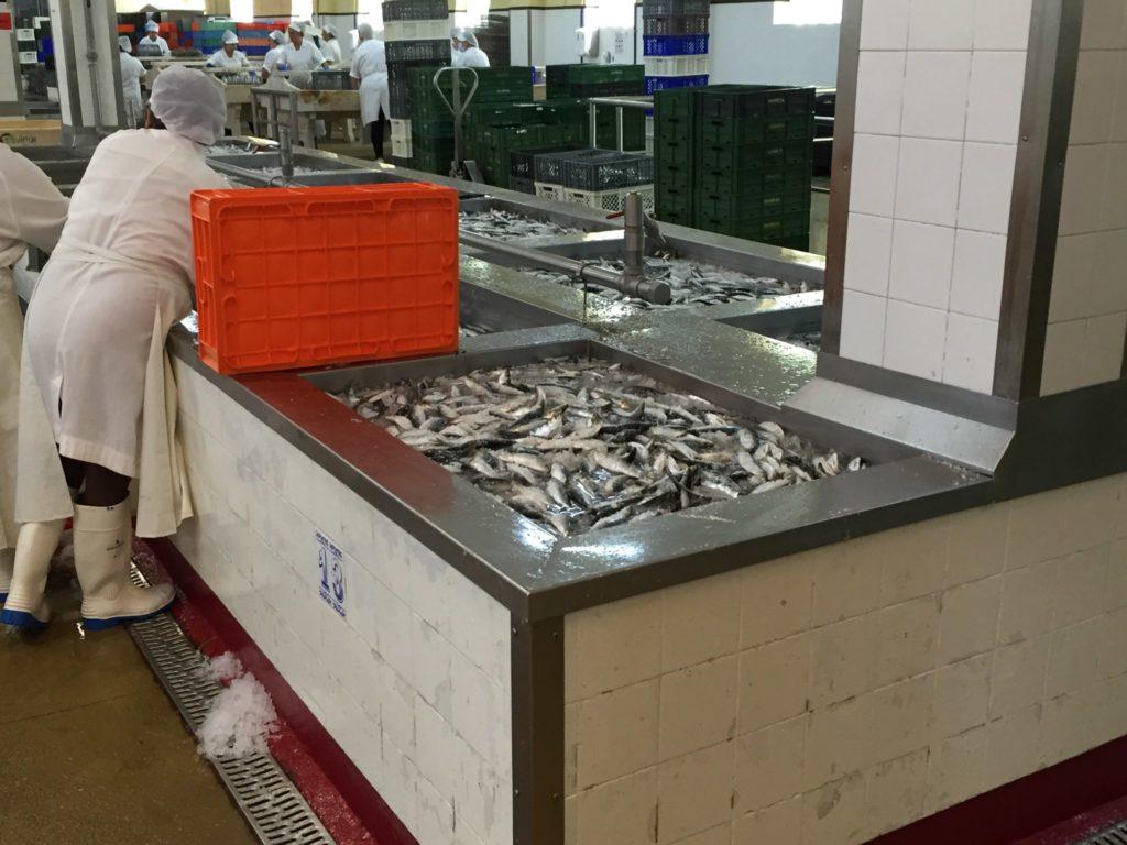 Matosinhos  Fisch Sardellen Sardinen  Fischproduktion Porto  Portugal